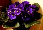 Saintpaulia Mac's very indigo