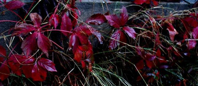 frunze rosii