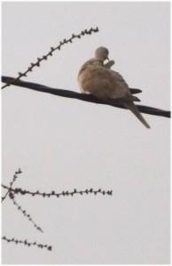 porumbița