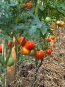 tomate-mulcite