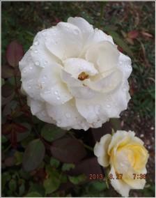 rosa-blanche