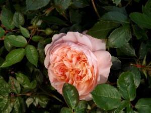 primul trandafir