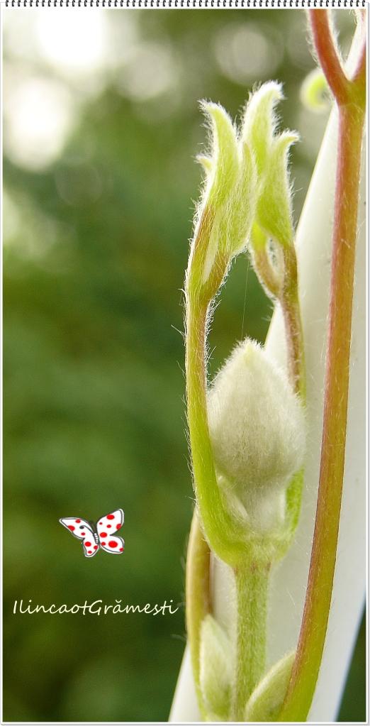 boboc de floare oare