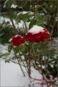 trandafiri rosii in octombrie tarziu