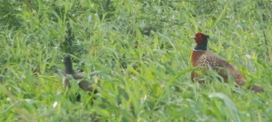 perechea-de-fazani